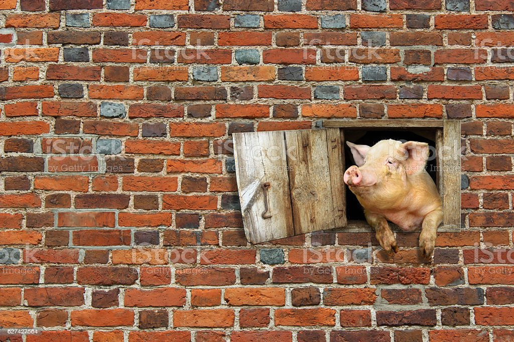pig looks out from window of shed on brick wall stock photo