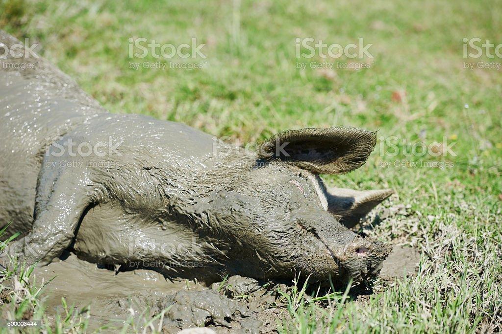 Pig lying in mud stock photo