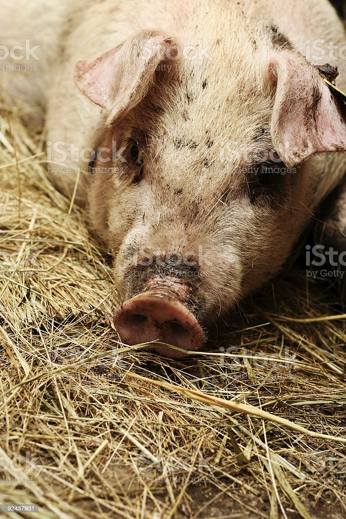 Pig Lying on some Hay royalty-free stock photo