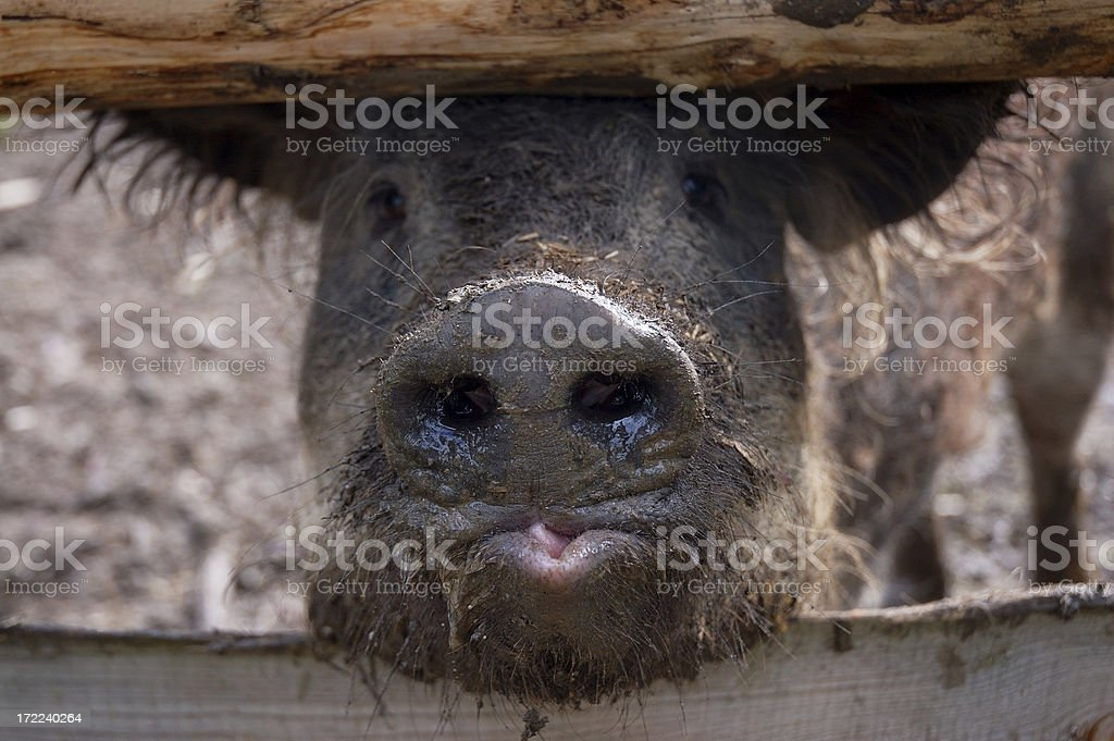 Pig Nose stock photo