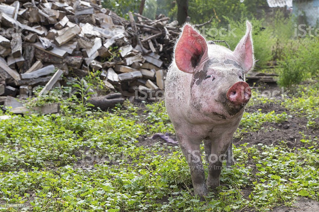 pig on a farm royalty-free stock photo