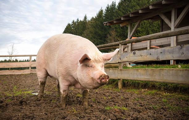 Pig on a farm stock photo