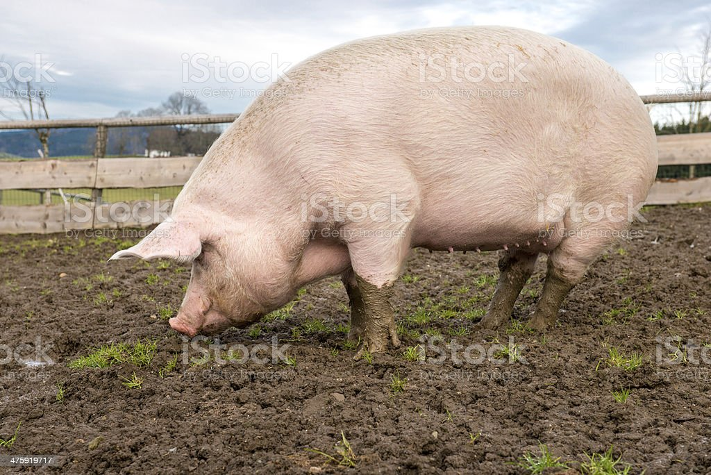Pig on a farm stock photo