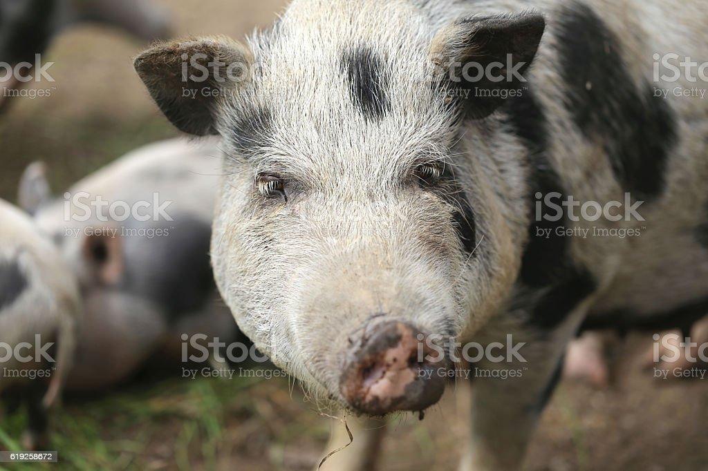 pig on farm, free - close-up, on the farm stock photo