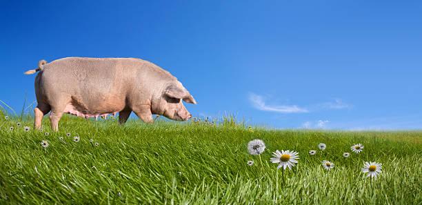 maiale su campo verde - scrofa foto e immagini stock