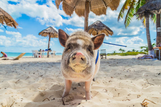 Pig on the beach. Dirty beach. Piglet under the palm trees stock photo