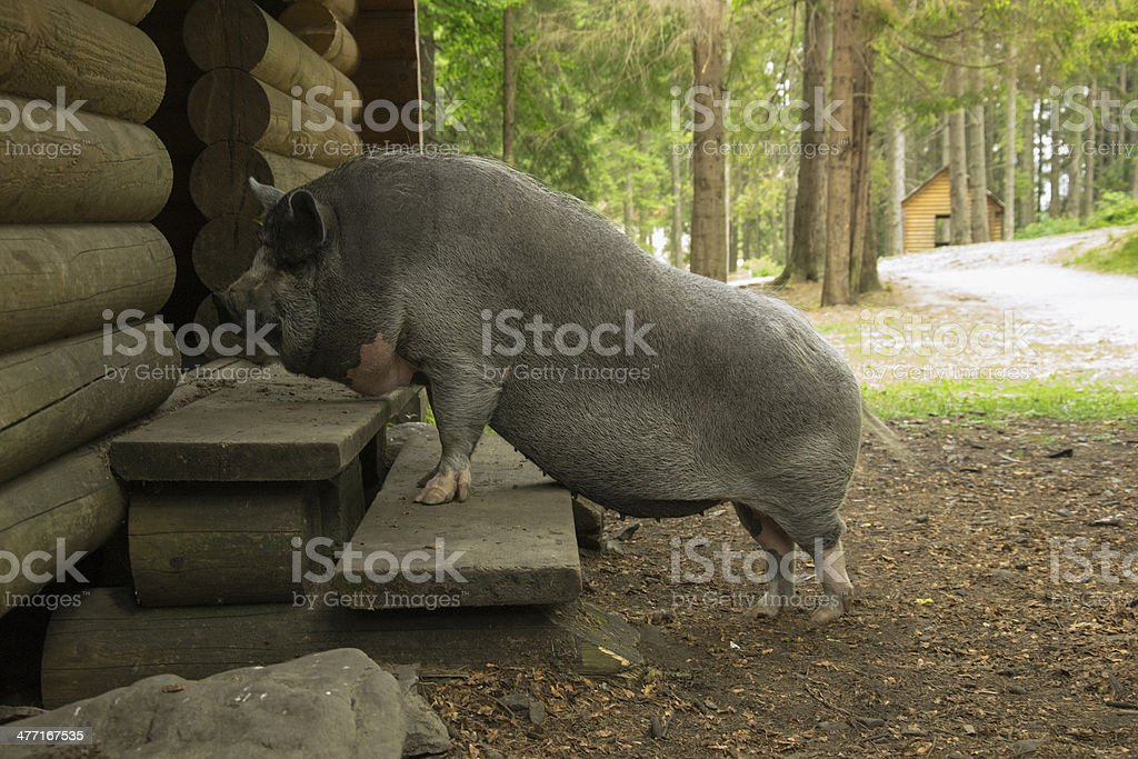 pig on the doorstep royalty-free stock photo