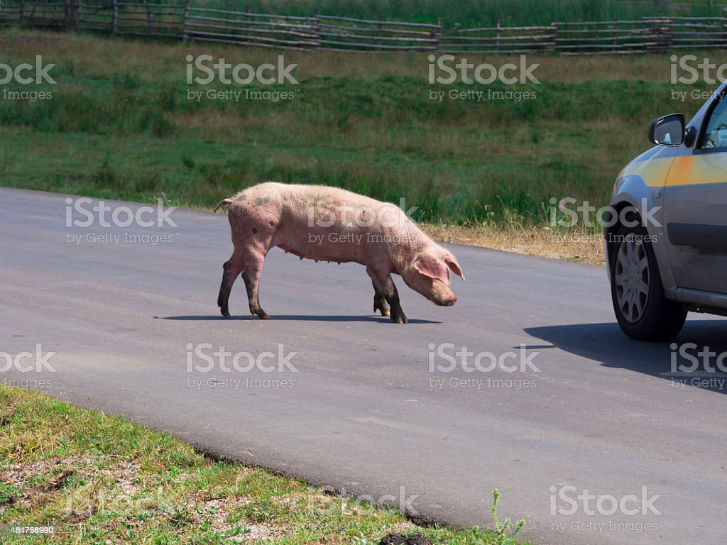 pig on the road stock photo