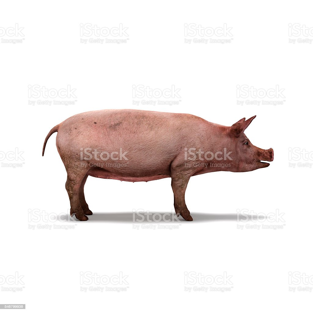 Pig on white background isolated 3d rendering stock photo