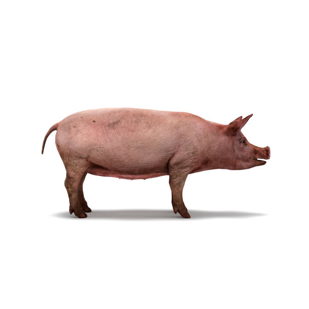 pig on white background isolated 3d rendering - scrofa foto e immagini stock