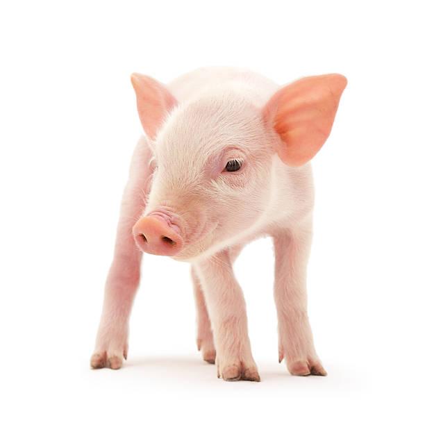 maiale su bianco - maialino foto e immagini stock