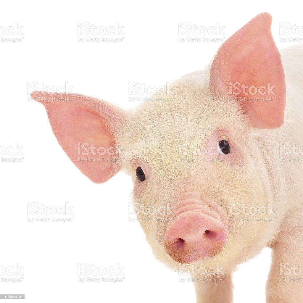 Pig on white stock photo