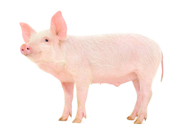 royalty free pig pictures images and stock photos istock