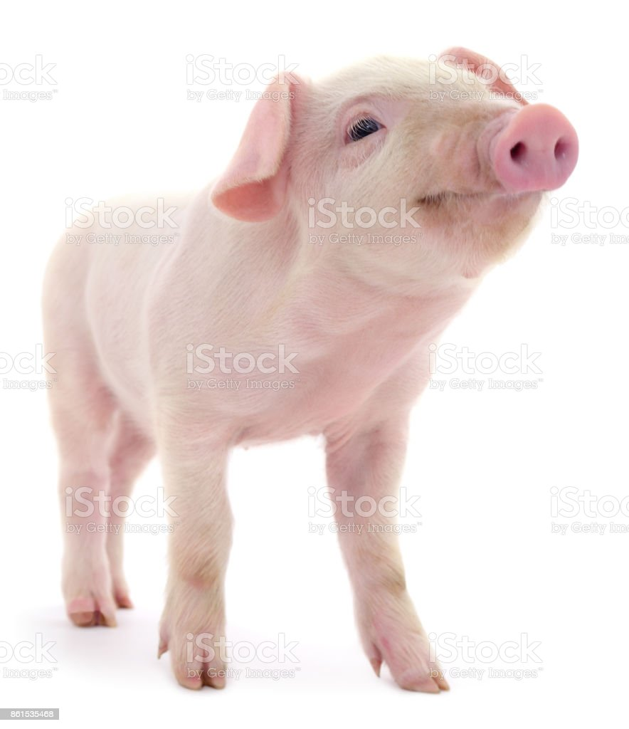 Pig on white stock photo