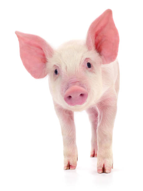 pig on white - maialino foto e immagini stock