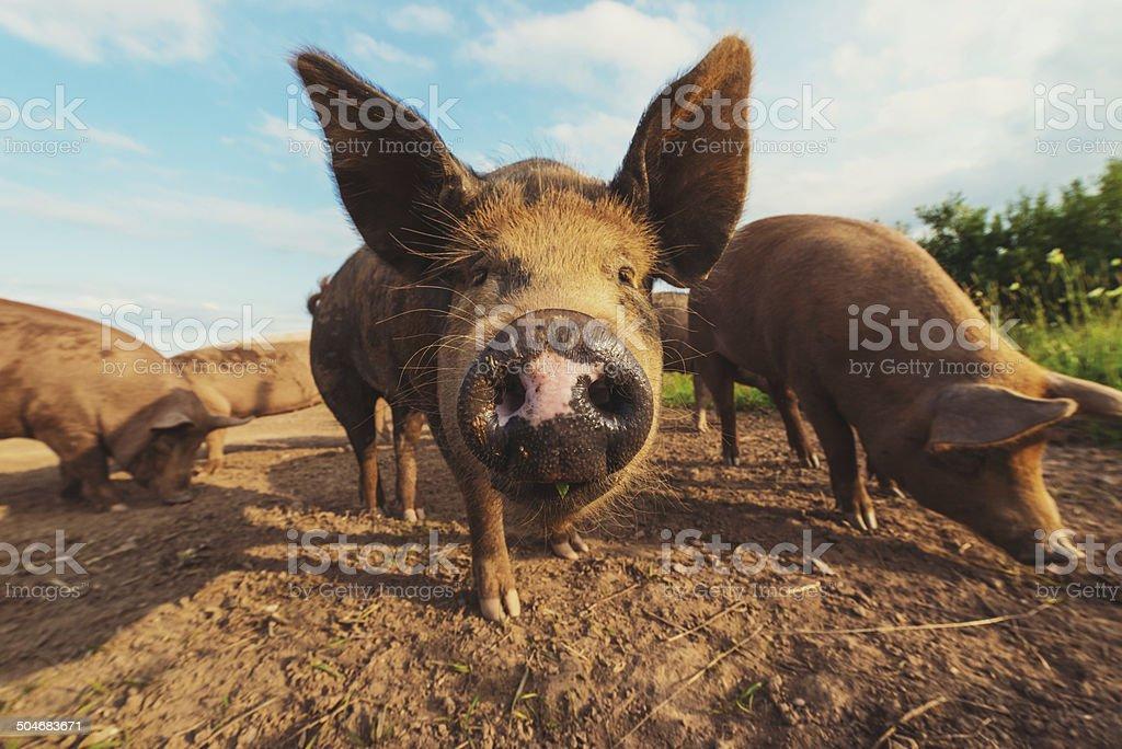 Pig Pen stock photo