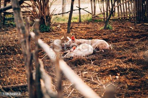 Domestic Pig, Animal, Farm, Europe, Mammal