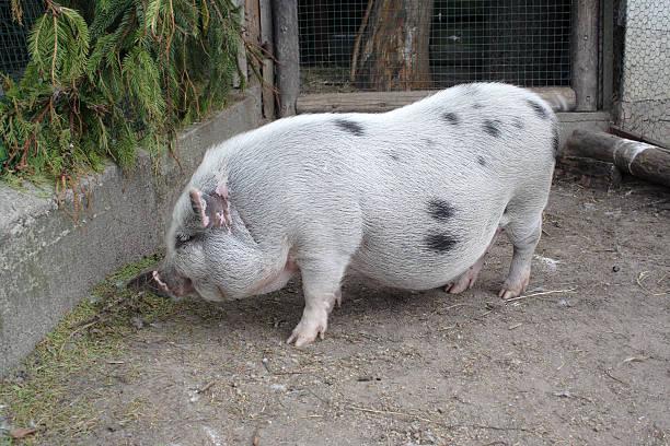 schwein - pig ugly stock-fotos und bilder
