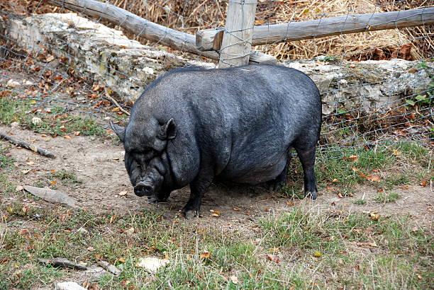 Schwein – Foto