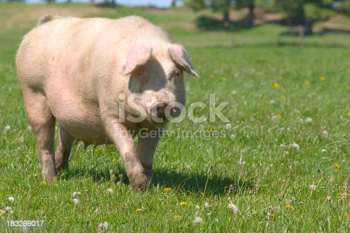 Pig in field walking towards camera. We have other pig and farm related images in our portfolio.