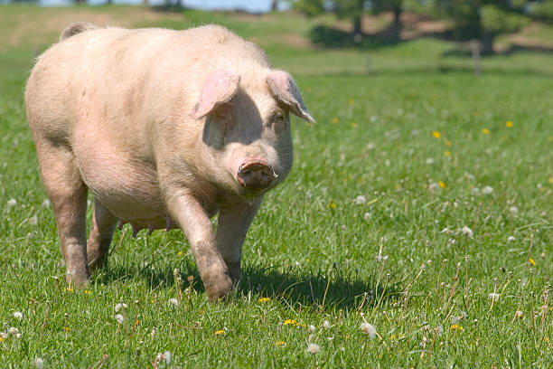 maiale - cinghiale animale foto e immagini stock