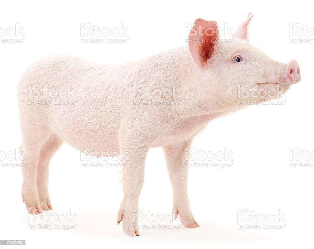 Cerdo foto de stock libre de derechos