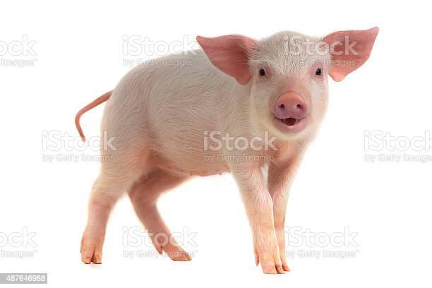 Pig picture id487646988?b=1&k=6&m=487646988&s=612x612&h=pkybfkgd8zq tw6fuxx9p71djfmogauws9fqksgouki=