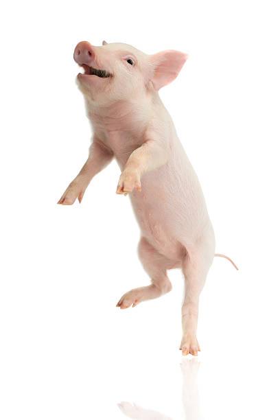 Pig picture id506878360?b=1&k=6&m=506878360&s=612x612&w=0&h=u5afnspvac05a4n2d7jzulexdc6rfa2ccumkktk8b6o=