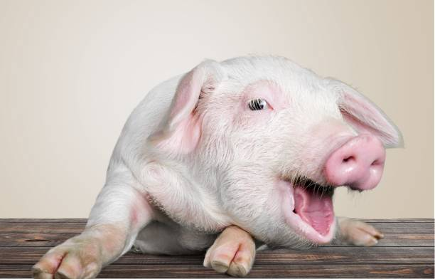 pig. - animal head stock pictures, royalty-free photos & images