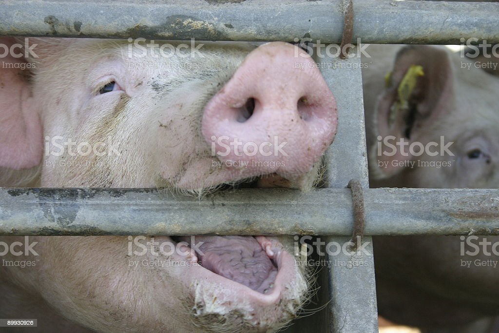 Pig royalty-free stock photo