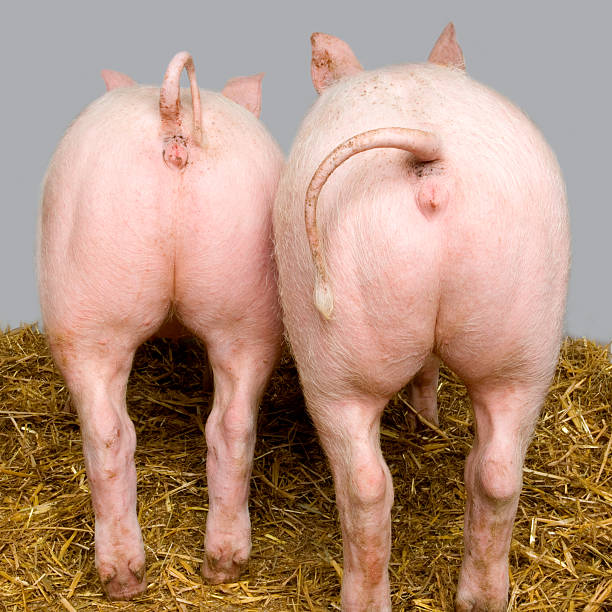 264 Pig Bottom Stock Photos, Pictures & Royalty-Free Images - iStock