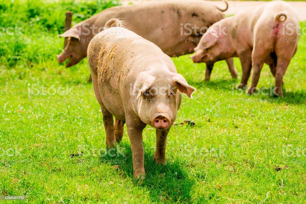 Pig portrait. Pig at pig farm