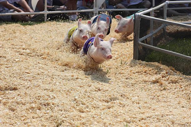 Pig Race at County Fair stock photo