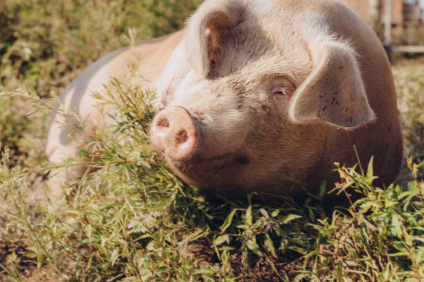 pig rolling in grass - katiedobies stock pictures, royalty-free photos & images