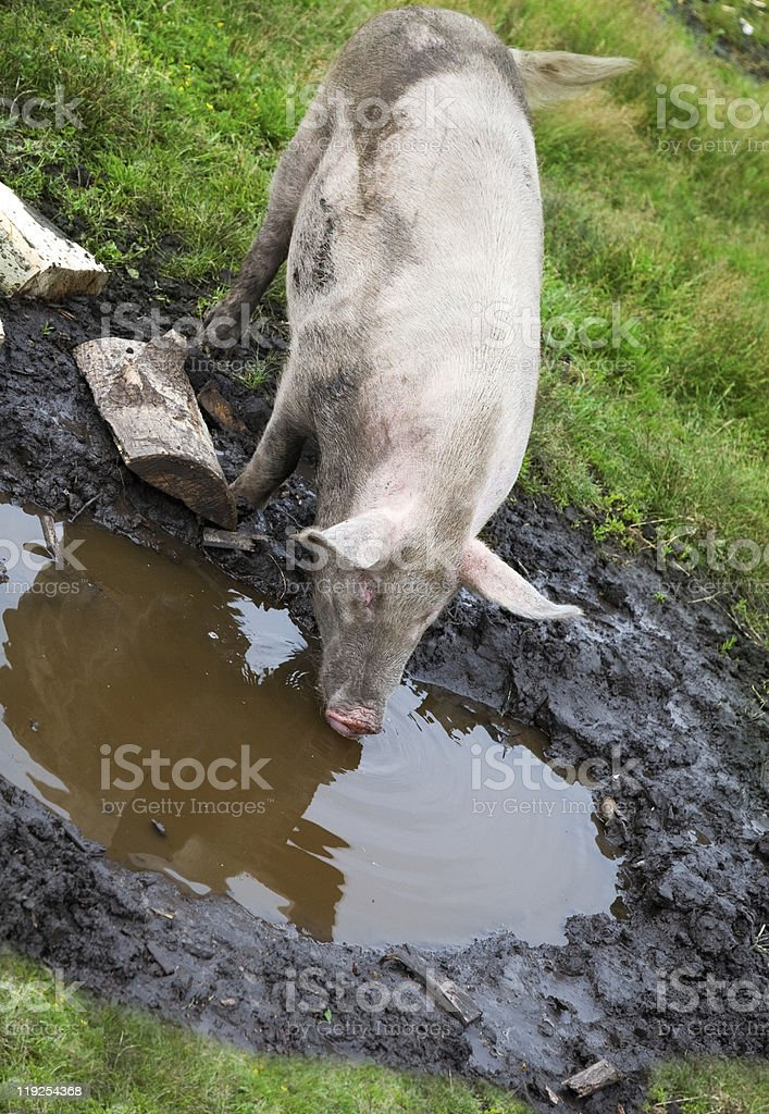 Pig sifting through puddle royalty-free stock photo