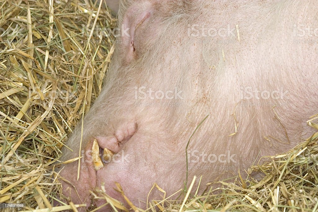 Schwein schlafen im Stroh – Foto