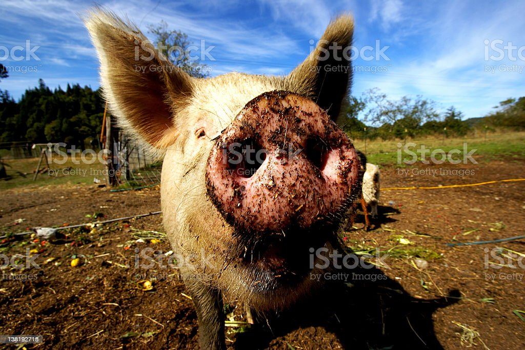 Pig snout close up royalty-free stock photo