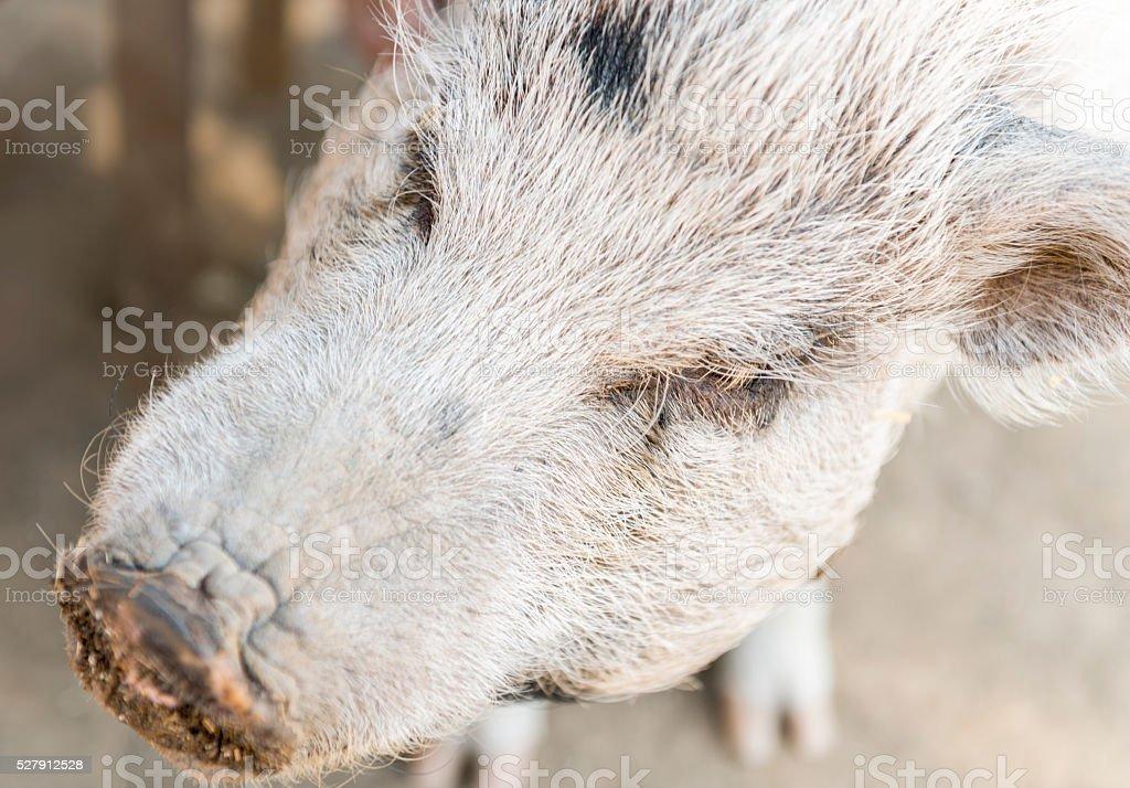 Pig snout closeup stock photo