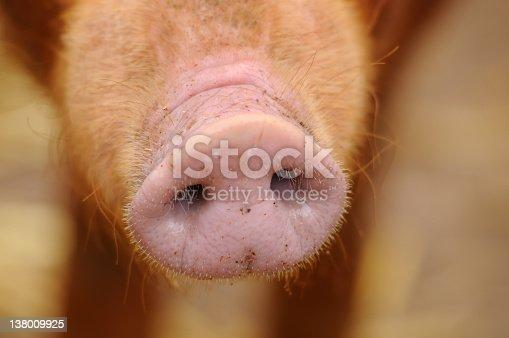 A close up of a pig's snout. XL image size.