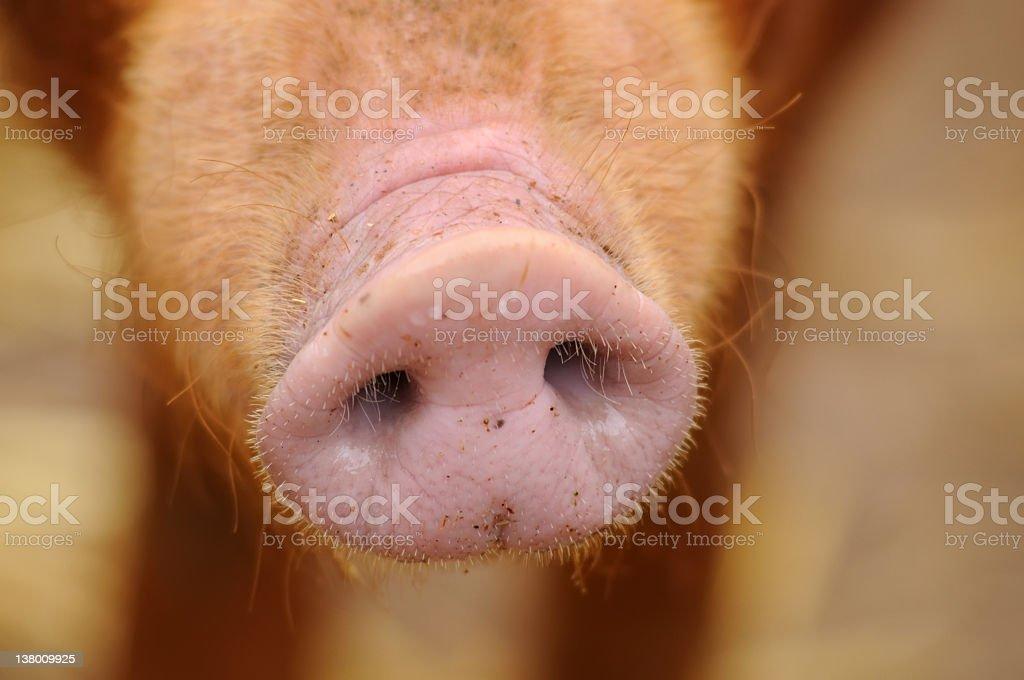 Pig Snout stock photo
