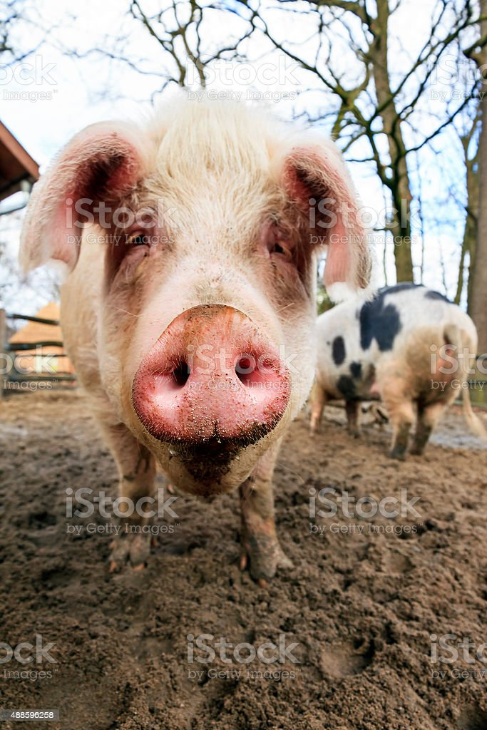 Pig snout stock photo