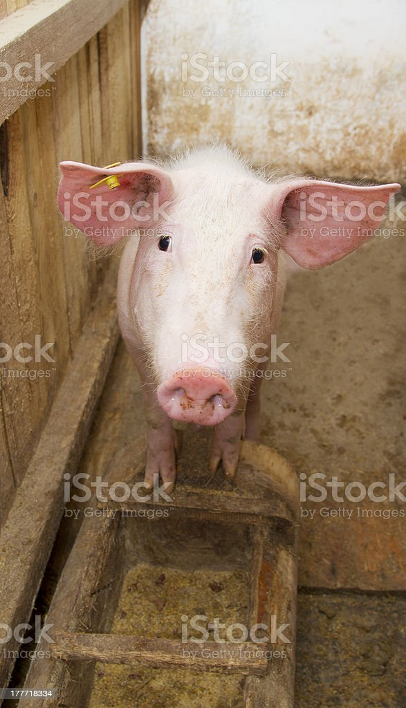 pig standing up royalty-free stock photo