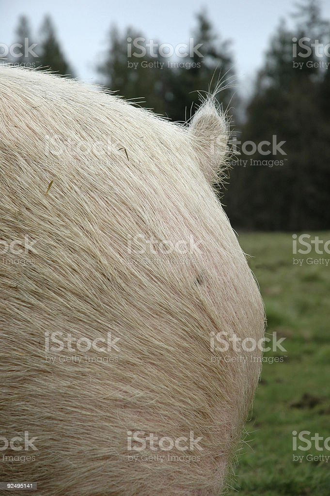 Pig tail royalty-free stock photo