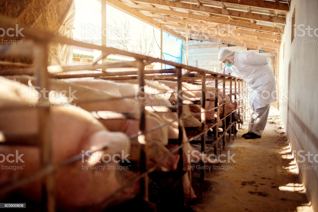 Veterinarian examining pigs at pig farm.