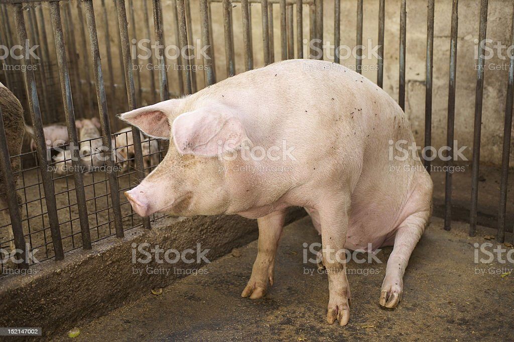 pig waiting piglets stock photo