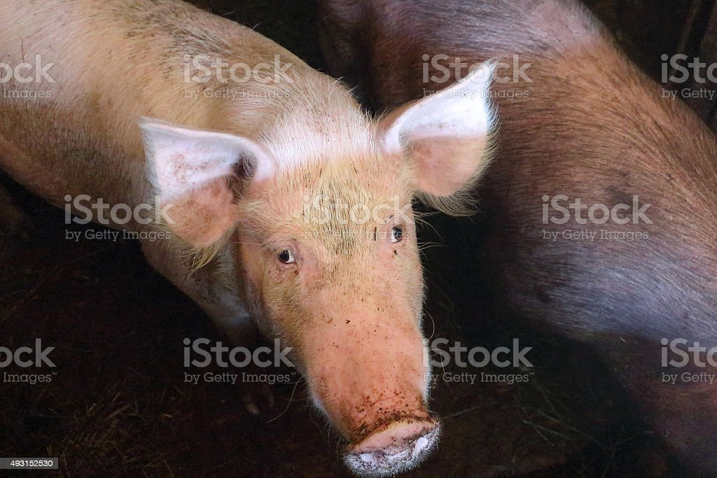 Pig with a dirty muzzle in a pigsty stock photo