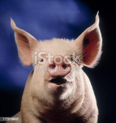 Portrait of a pig that looks like he's talking with blue background
