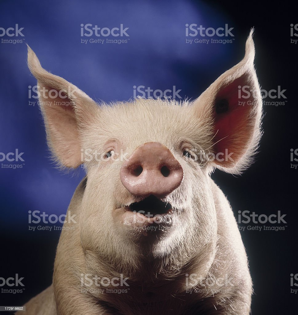 Pig with blue background stock photo