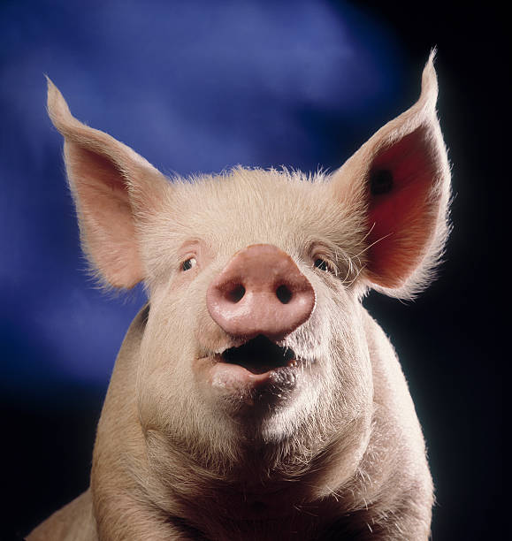 Pig with blue background Portrait of a pig that looks like he's talking with blue background snout stock pictures, royalty-free photos & images