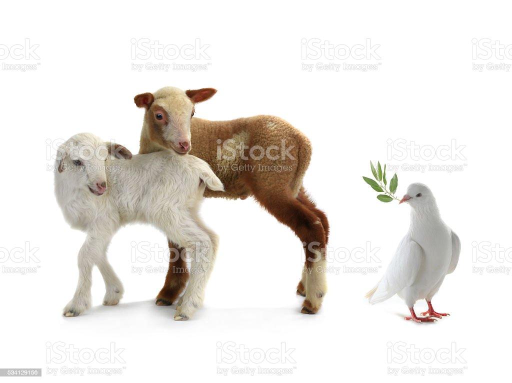 pigeon and sheep stock photo